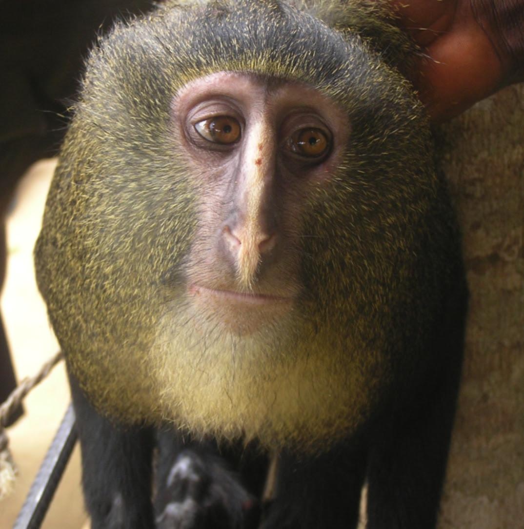 Πίθηκος με ανθρώπινα μάτια Cercopithecus lomamiensis