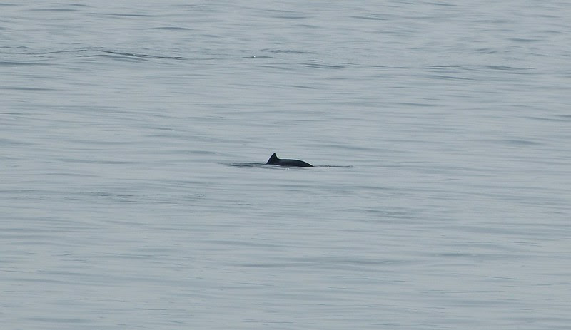 P1050476 - Harbour Porpoise, Isle of Mull