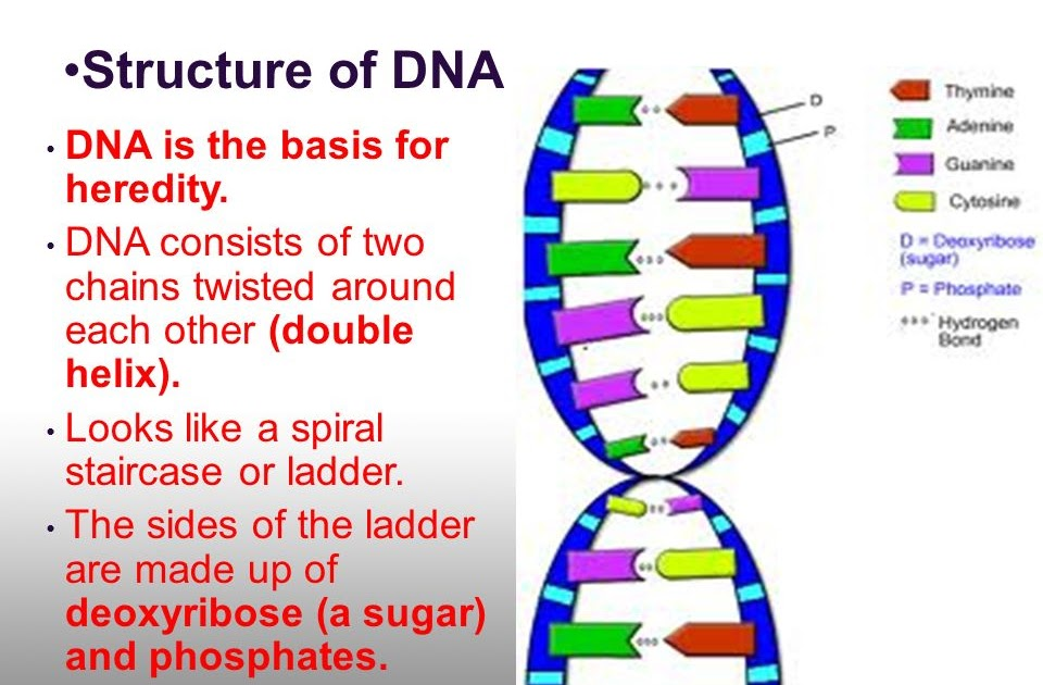 32 Dna The Double Helix Coloring Worksheet Colored ...