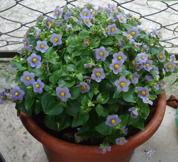 http://www.swiatkwiatow.pl/foto/goryczka-tropikalna-8211-exacum-affine-eksakum_5292.jpg