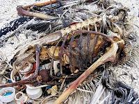Albatroz morto comendo plástico