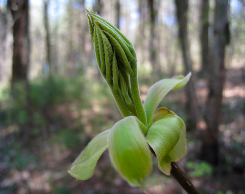 unfurling leaves