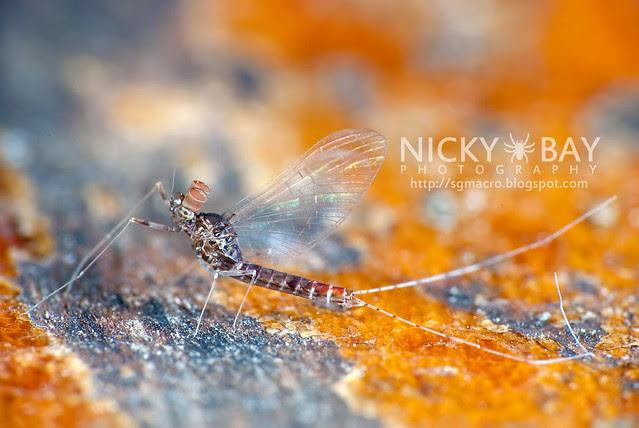 Mayfly (Ephemeroptera) - DSC_3843