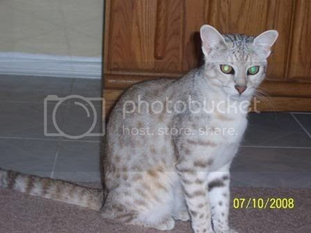 F1 Safari cat - Lilly