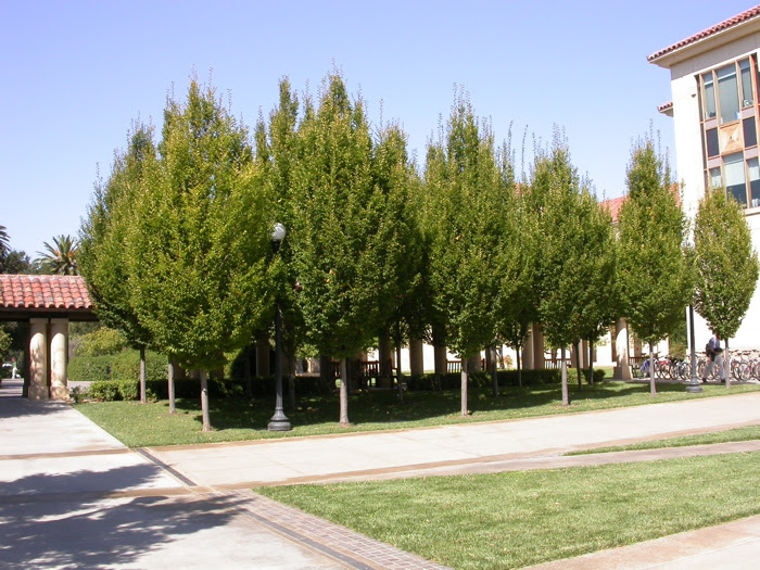 Carpinus Betulus European Hornbeam Trees Of Stanford