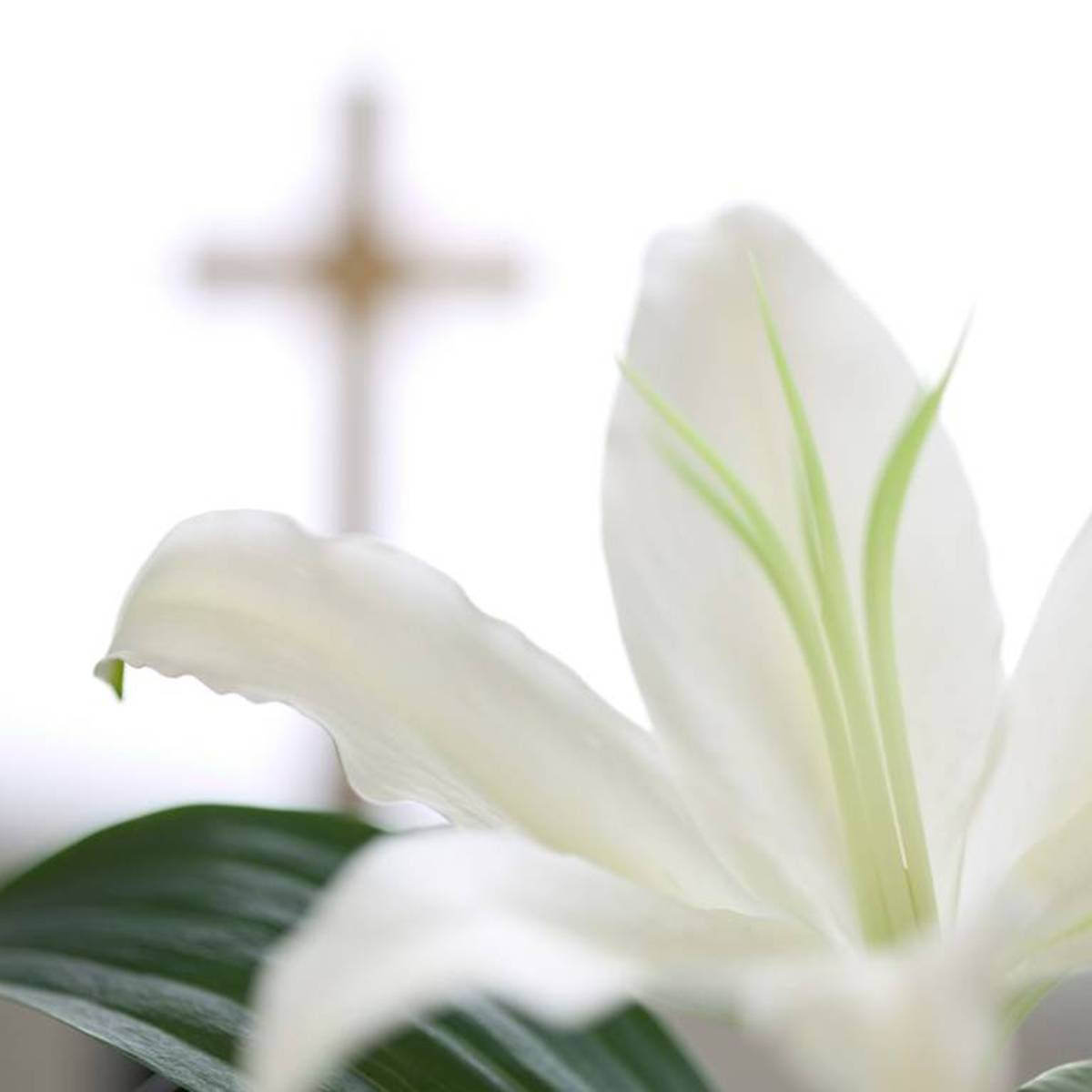 http://www.meteoclub.gr/images/stories/teo/easter-lily.jpg