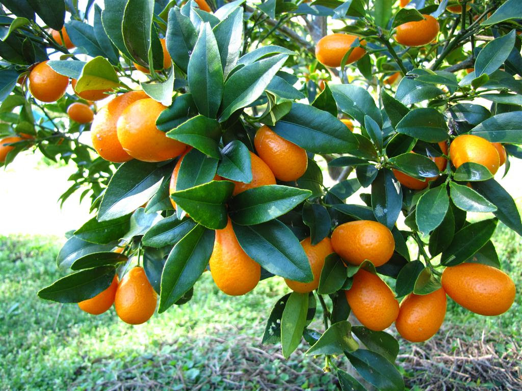 Ecocentric Real Food Right Now And How To Cook It Kumquats