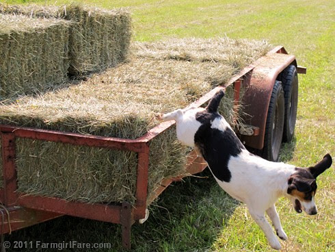 Bert on the hay trailer 3