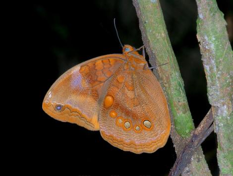 Catoblepia berecynthia unditaenia