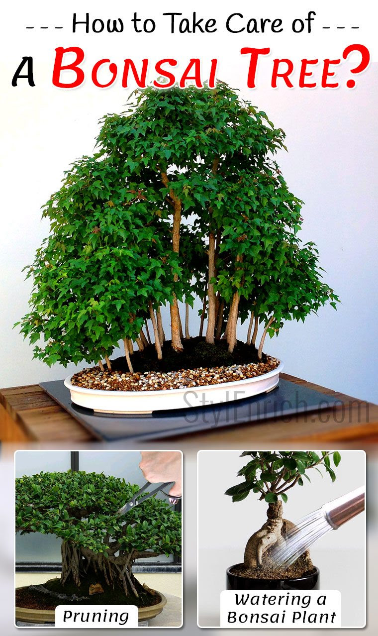 Atanbiyi Gabriel How To Take Care Of A Bonsai Tree
