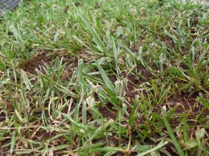 grass after having coffee grounds spread over