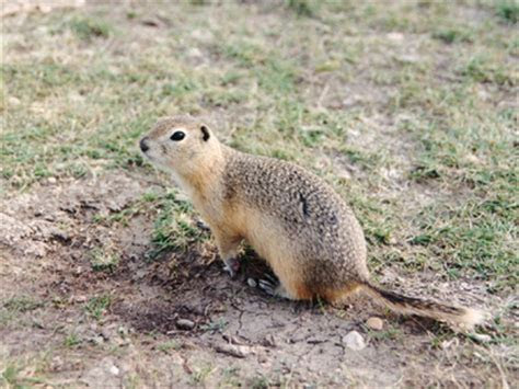 Gopher   Wildlife   The Wildlife