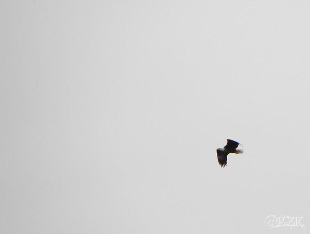 DSCN4831e Eagle in flight