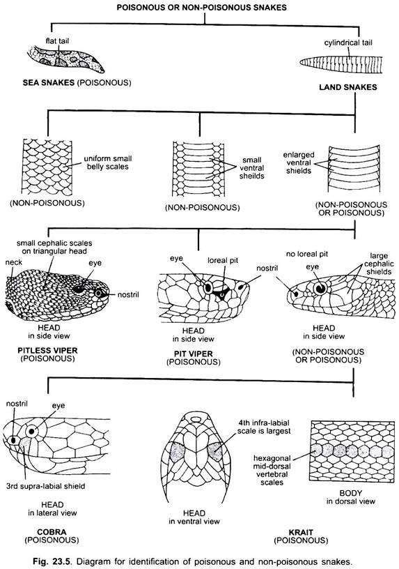 Essay on Snakes | Chordata | Vertebrates | Zoology