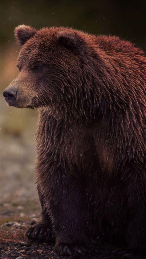 brown bear animal wallpaper iphone android bear animal