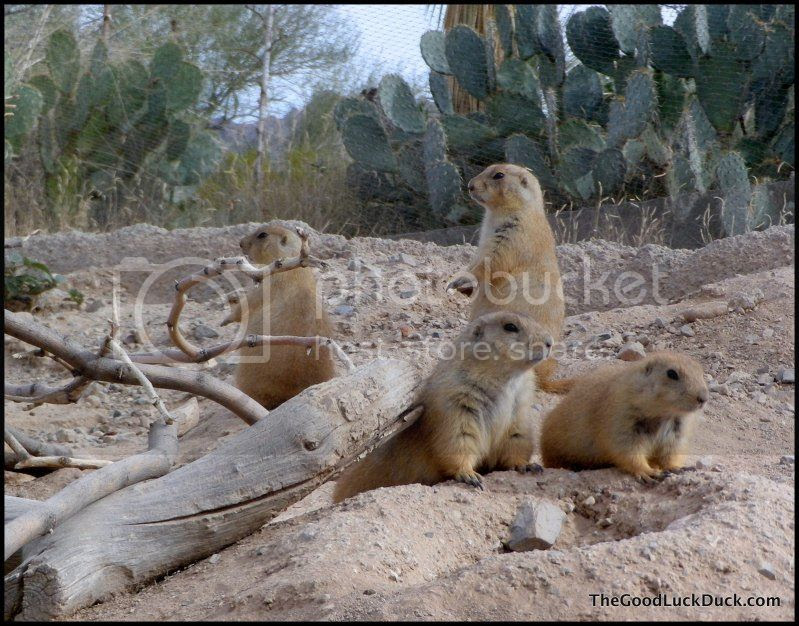Prairie dog - Sonoran Desert Museum