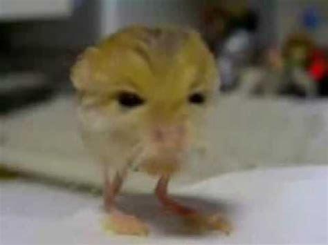 Pygmy Jerboa   Warning worlds cutest mouse!   YouTube