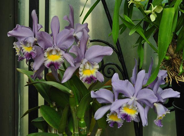 Conservatory - Cattleya g. Valentine 'Coerulea'
