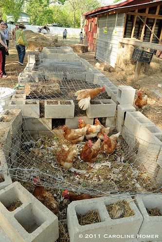 Chickens in the compost