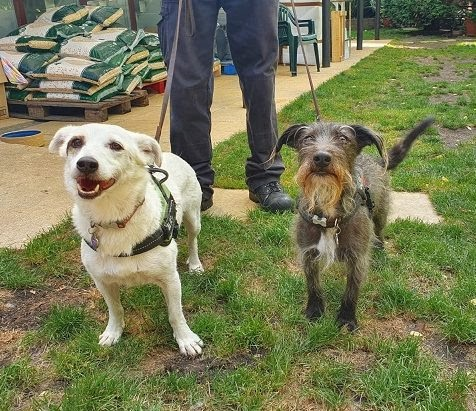 Buster and Bobo – 5-6 year old male and female Terrier Crosses