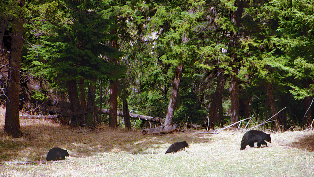 A033, Yellowstone National Park, Wyoming, USA, black bears, 2001.jpg
