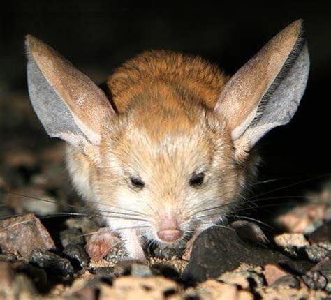Extraordinary Animal : Long eared Jerboa   Stress Effect