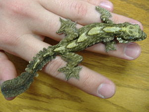 Flying Geckos make interesting pets.