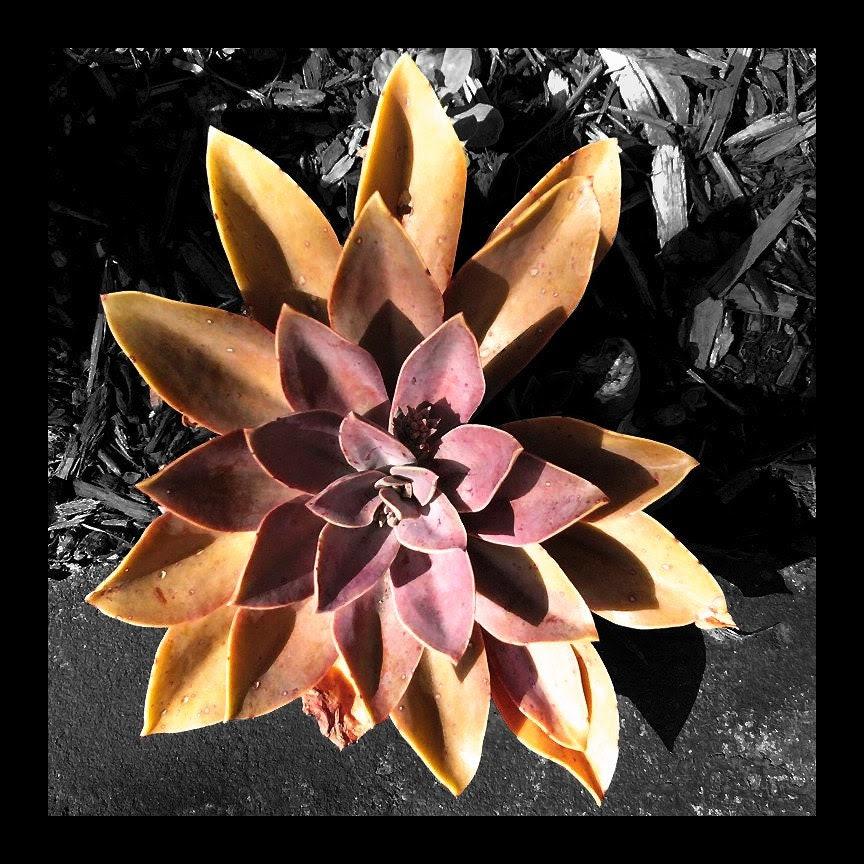 Succulent Flower - 11x11 photo