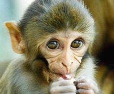 Macaco, cucciolo