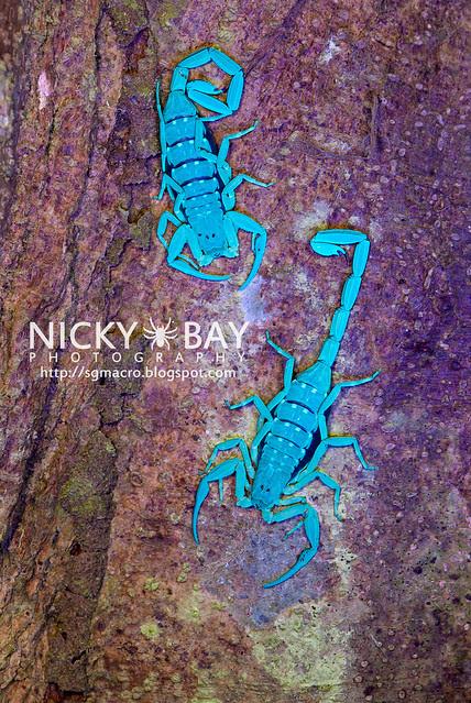 Scorpions (Lychas scutilus?) - DSC_8314