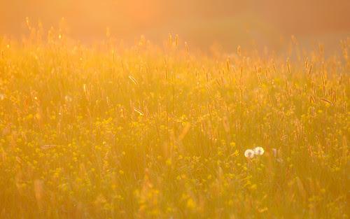 Golden Field 29719