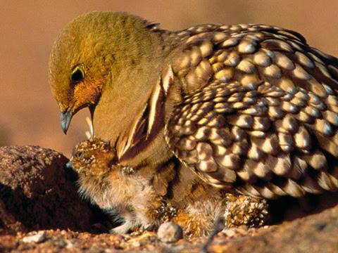 Gà cát Namaqua