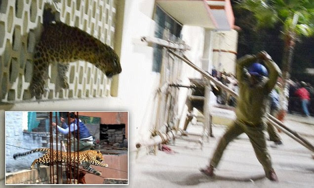 Leopard on the loose in Indian city sparks terror as it runs wild in a hospital, cinema and apartment block
