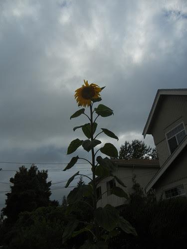 DSCN7006 - Sunflower, June 2013