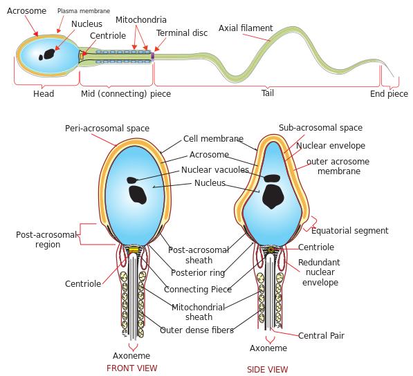فایل: نمودار کامل از en.svg اسپرم انسان