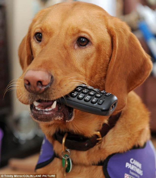 Amber, the ginger-haired Labrador/golden retriever cross, is credited with transforming Helen Bree's life by helping with domestic tasks such as collecting a ringing phone (pictured)