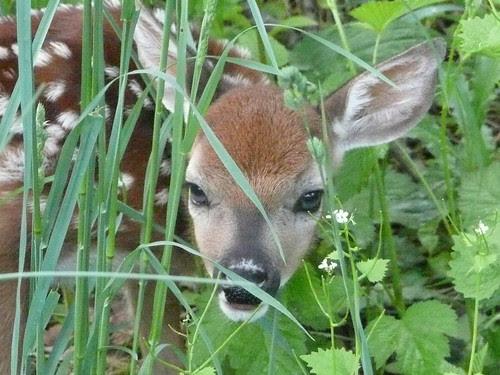 Fawn--newborn deer