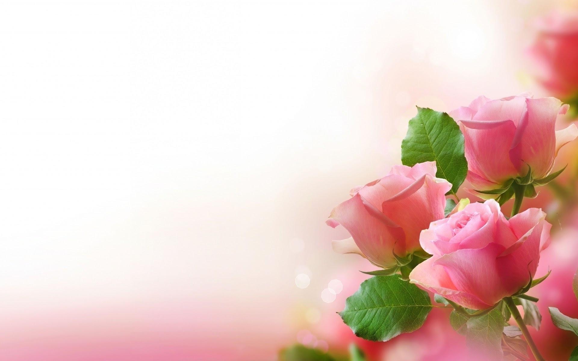 Download Gambar Bunga Mawar Indah Sri Mulyane