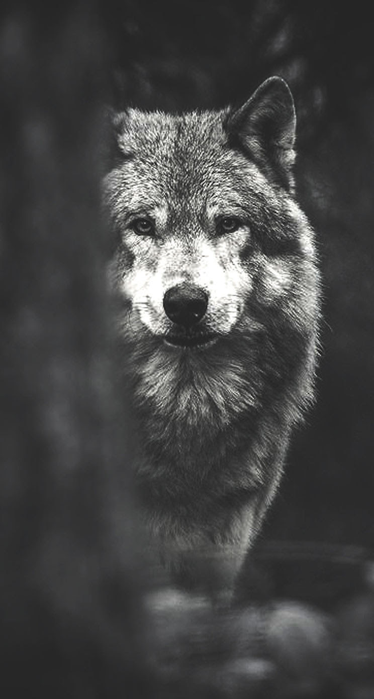 Wolf - The iPhone Wallpapers