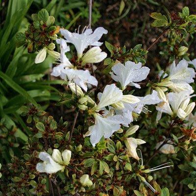 20060225-vs-8392 Azálea - Rhododendron
