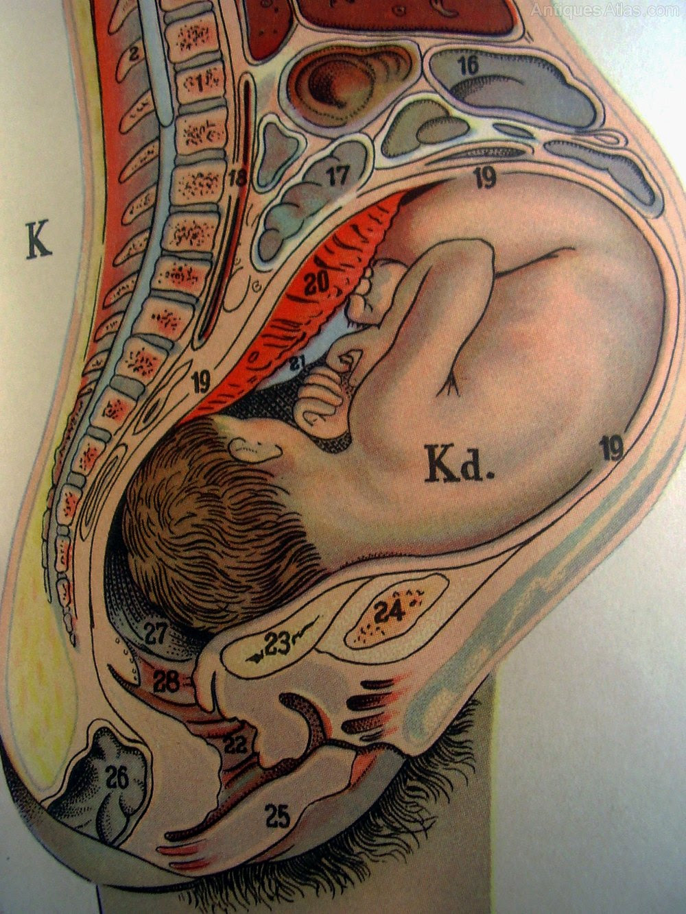 Antiques Atlas - Philips Model Of The Human Female Body