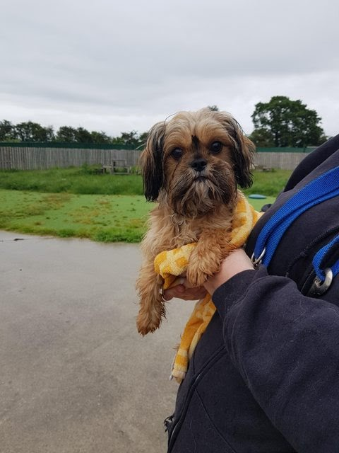 Ruby – 9 month old female Shih Tzu cross Cavalier