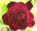バラの名門メイアン社創始者が自らの名をつけたバラ【バラ苗】【新苗】オールドローズフランシ...