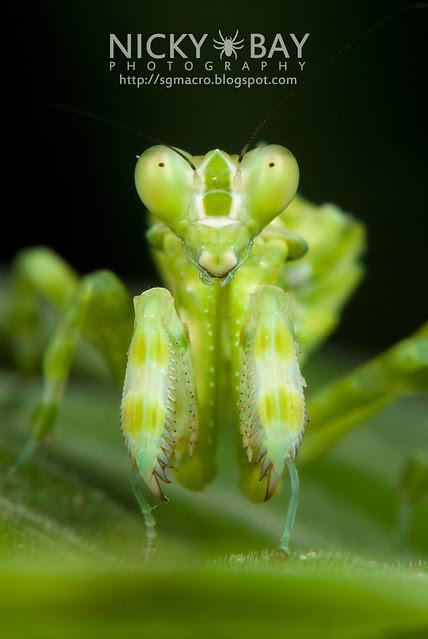 Banded Flower Mantis (Theopropus elegans) - DSC_3576
