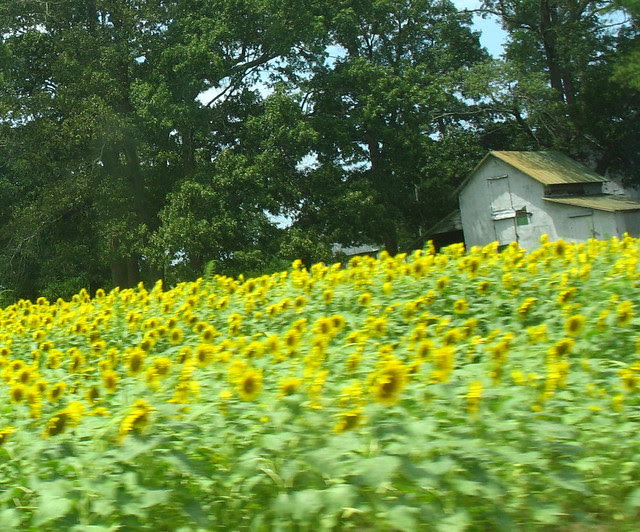 my world a sunflowers IMG_2360