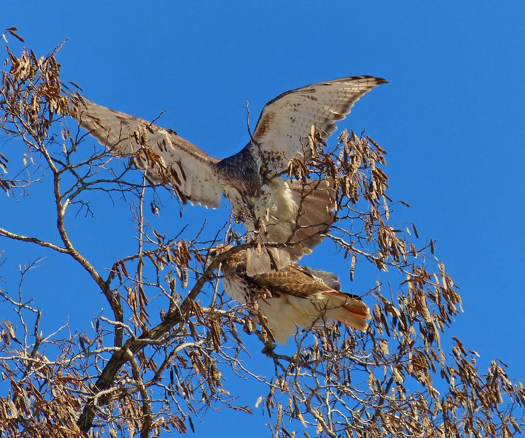 Hawk pair cutting sticks from a tree
