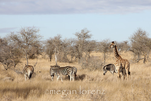 African Bush by Megan Lorenz