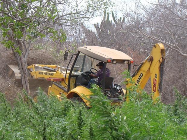 Polícia destrói cerca de 50 mil pés de maconha em Ourolândia, (Foto: Divulgação /Polícia)