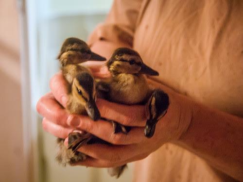 a handful of ducklings