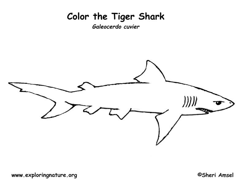 Shark (Tiger) Coloring Page
